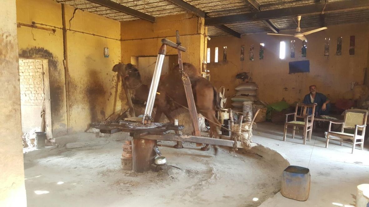 GG camel far